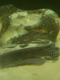 L number Plecos and Motoros