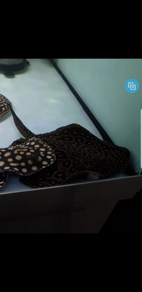 Marble stingray 12inch �0