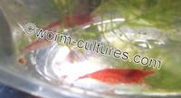 High Grade Red Cherry Shrimp ~ Tank Bred, Hardy bloodline