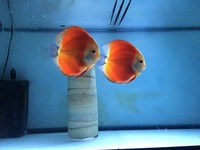 Stunning Pair of Red Melon Discus 5-6in �0
