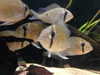 Biotodoma Cupido group and Wavrini group plus assorted fish