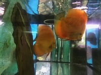 JUMBO PAIR OF RED MELONS ONLY �0 AT CHILTON AQUATICS