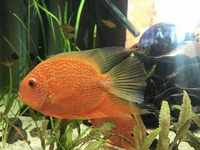 CHEAP TROPICAL COMMUNITY FISH