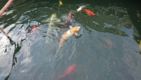Koi, Goldfish and pond filtering system