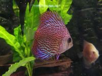 Discus from � at The Tropical Fish Shop Sheffield