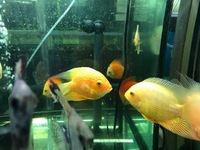 ADULT RED SPOT SEVERUMS IN STOCK. POSSIBLE PAIRS.