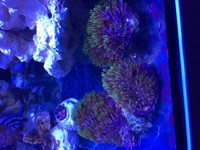 Green Star polyp coral- ROTHERHAM