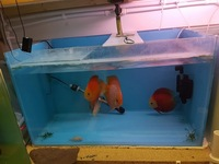 8 x Discus in complete Fish room