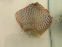 Discus for sale & 1 adult geophagus