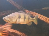 About 8-9 inch Cichla Kelberi (Golden Peacock Bass) for sale.