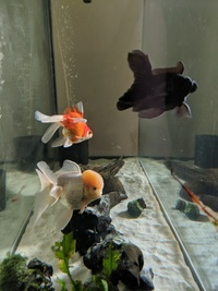 3 fancy goldfish for adoption, York.