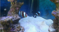 Marine fish Barrier Reef Clarki Clowns