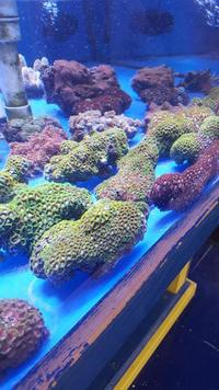 MARINE FISH / LARGE ZOA COLONIES �.99 EACH