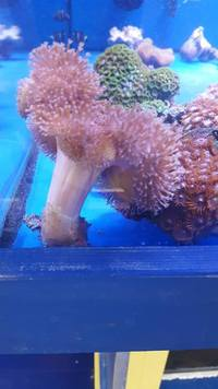 MARINE FISH / LEATHER TOADSTOOL CORAL