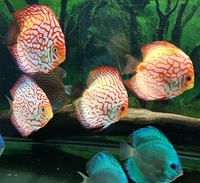 2 Red Map Discus breeding pairs+ 4 Cobalt Blue