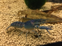 Australian Red Claw Crayfish Blue Lobster