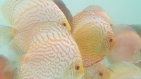 Home bred young adult discus for sale