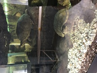 Need to find a new home for 3 x Musk Turtles