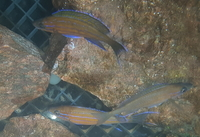 Paracyprichromis Nigripinnis Breeding Group REDUCED.