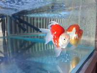 Pair of tamasaba goldfish. �0 for the pair.