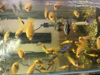 Malawi Cichlids for sale - Hornchurch, Essex