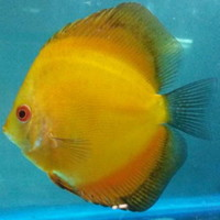 DISCUS FISH FOR SALE - QUALITY UK BRED - FULLY PET SHOP LICENCED ONE OF THE LARGEST UK SELECTIONS - FREE 5 PACKS OF MUSSEL MIX ON ORDERS �0 TO �0