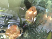 Red Spot Severums