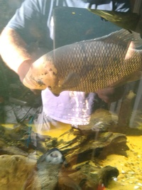 24inch giant groumai male for sale