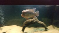 10 inches Midas Cichlid for sale