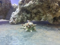 Cyano algae eating snails