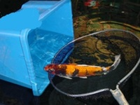Looking To Rehome Your Koi Carp Sturgeon / Pond Fish & Equipment? Best Prices Paid