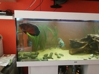� (or offer) - Extra Large (10 inches +12 inches ) Oscars For Sale (Breeding Pair)