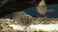 Breeding pair off blue acaras and a chocolate cichlid