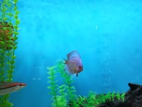 3 discus fish for sale. 1 breeding pair and 1 single male