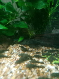 Breeding pair bristlenose