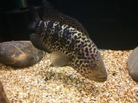 JAGUAR CICHLID MALE