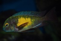 Large colony Wild Caught Tropheus for sale cheap