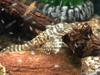 L066 King Tiger Pleco fry For Sale