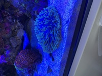 Long tentacled plate coral Heliofungia