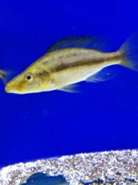RARE Dimidiochromis Compressiceps Chizumulu Island Gold Morph � pair only one s for sale in the uk at this size and price