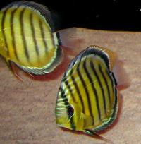 WILD 5 inches Symphysodon Aequifaciatus green discus fish for sale.