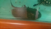 Male motoro stingray for sale �0