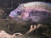 Central American Cichlids For sale