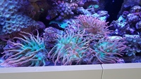 Red/Green Tank Bred Bubble Tip Anemones