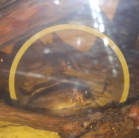 ALL SOLD--10 x Corydoras catfish breeding groups(arcuatus,sterbae-breeders,elegans) for sale-� for a lot--Leeds