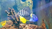 Sailfin tang, London, SW16