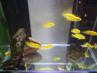 Yellow labs and bristlenose pleco .ONLY 2 pound per fish.