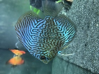 5 Stendker Discus for sale