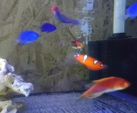 LOTS OF FISH FOR SALE - INC PLATINUM CLOWNS / CORAL BEAUTY / CLOWN WRASSE