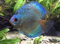 FOR SALE 2 Fully grown 7 inch Adult Blue Diamond DISCUS � each near Manchester